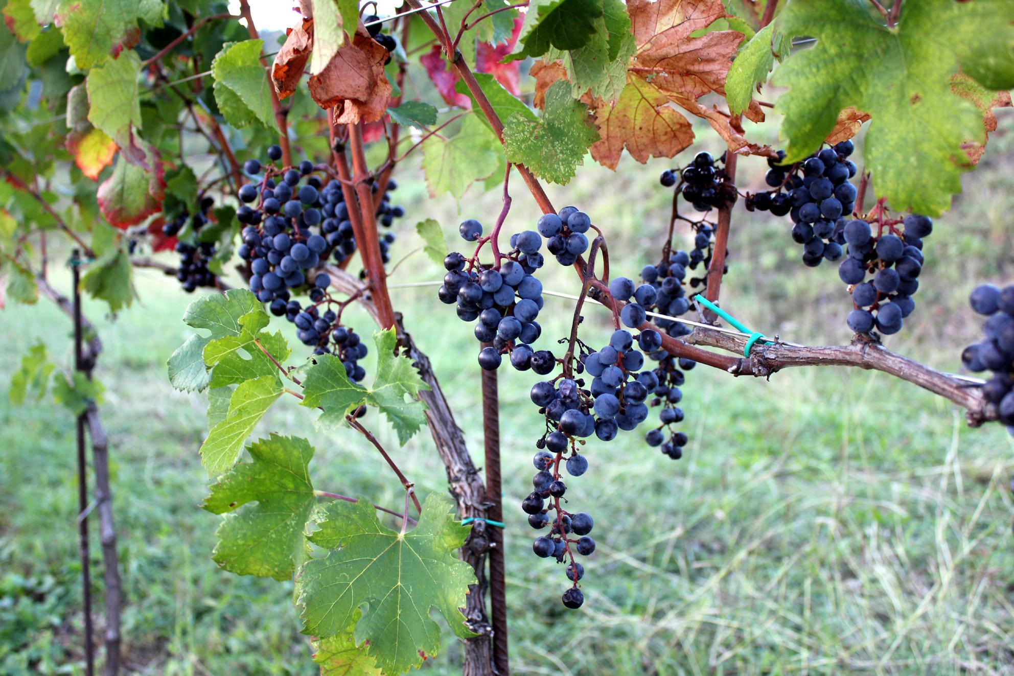 Foto: Å forvalte en arv, vingården La Costa