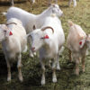 Photo: Goat with Combi Small red