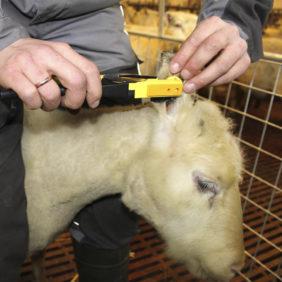 Foto: Veiledning påsetting av GS-merker Norsk Sau og Geit / BioBank