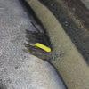 Illustrasjonsfoto: Fisk merket med Micro