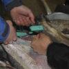 Illustrasjonsfoto: Merking av fisk med Micro