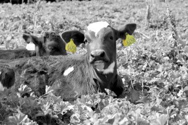 Foto: Kalv med ikke-elektronisk storfemerke Combi 3000 i begge ører