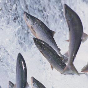 Foto: Veiledning produktark TSU fisk norsk