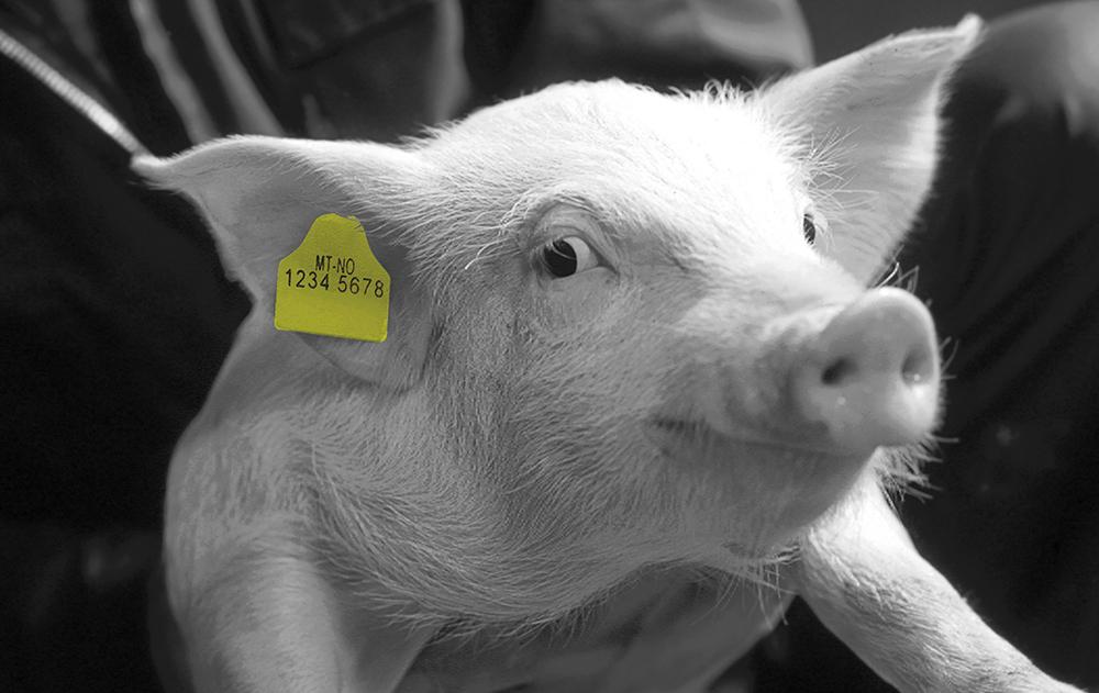 Foto: Gris med Combi Pig gul