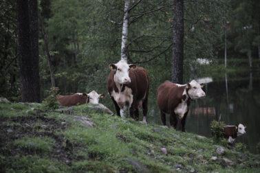 Foto Thumbnail God sommer 2019 storfe hereford deset moen gård