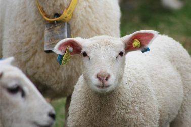 Foto thumbnail: Årets sauemerketilbud til Nortura-medlemmer