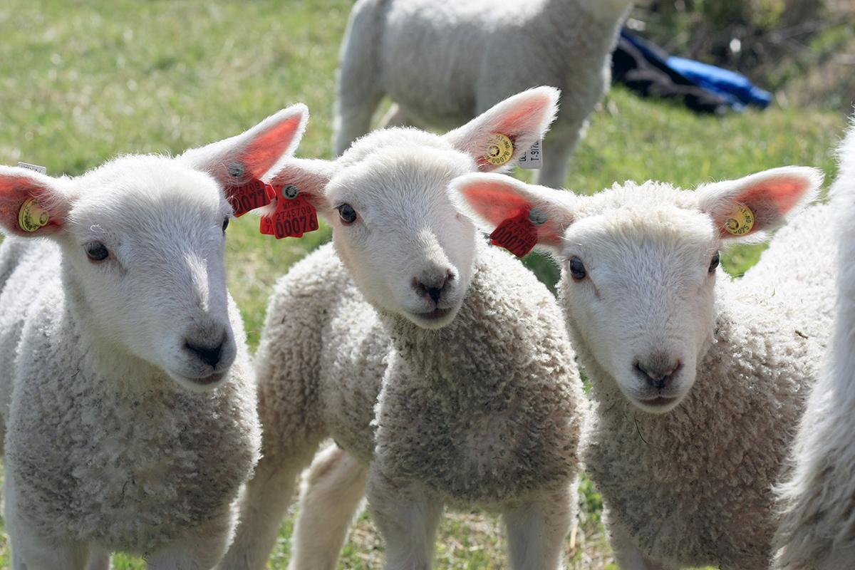 Foto: Tre lam med Combi 3000 øremerke