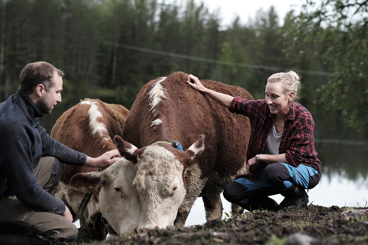 Foto: Storfe aktivitetsmåling bønder