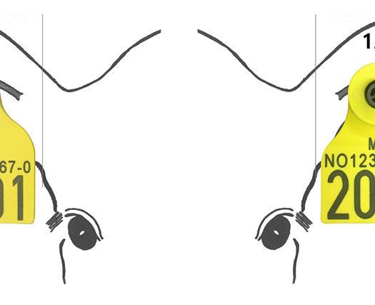 Toppfoto: Riktig påsetting av øremerker for storfe