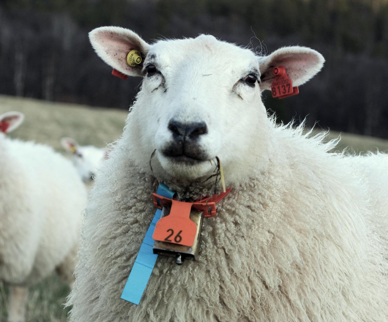 Foto: Sau på beite med KVIKK slips, FOKUS merkeplate, OS-bjølle og KVIKK klave