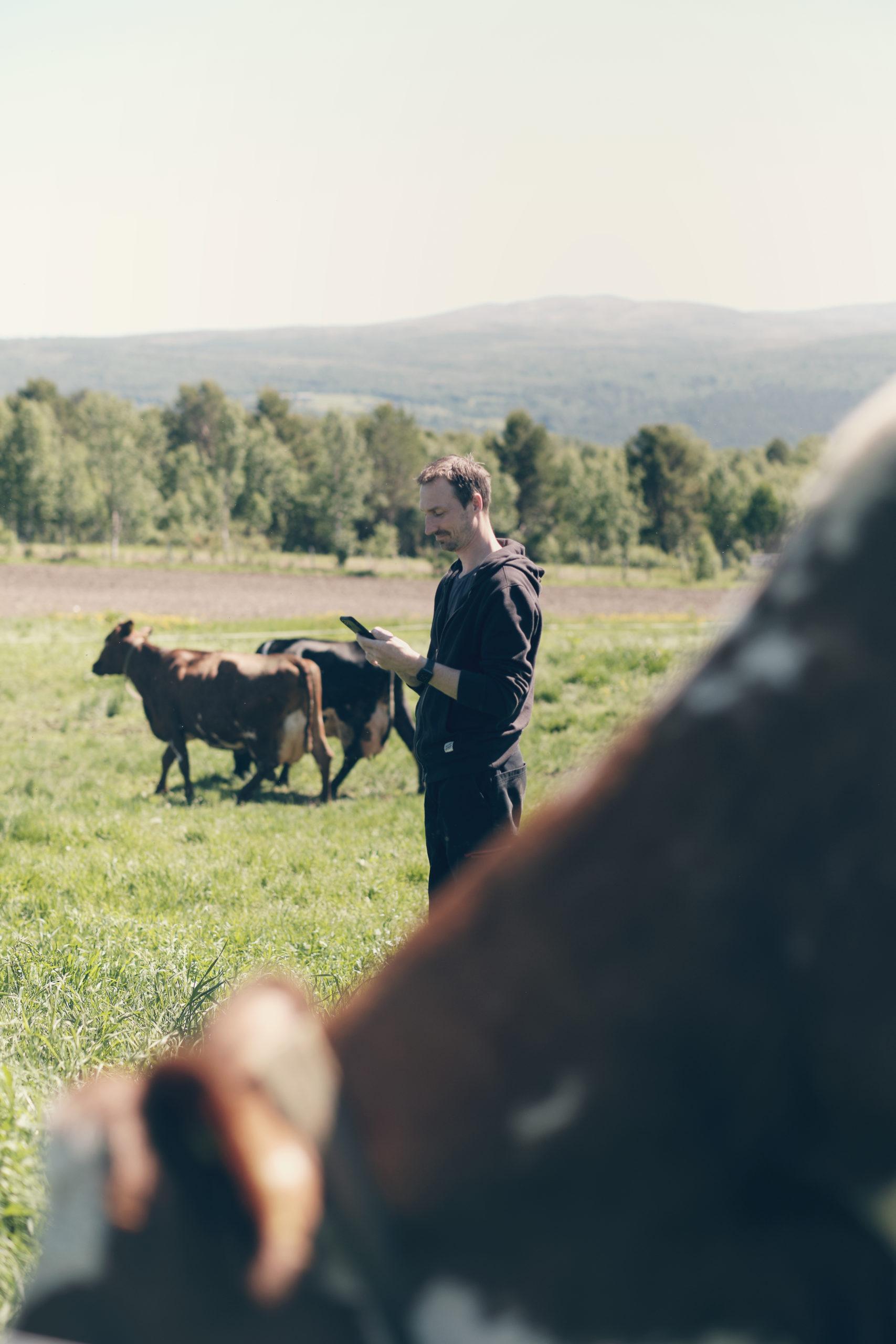 Foto: Produser mer sommermelk. Mjølkeku med Combi Øremerke og SenseHub eSense øretransponder
