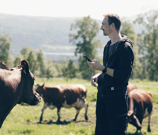 Toppfoto: Produser mer sommermelk. Bonde og mjølkeku med Combi Øremerke og SenseHub eSense øretransponder
